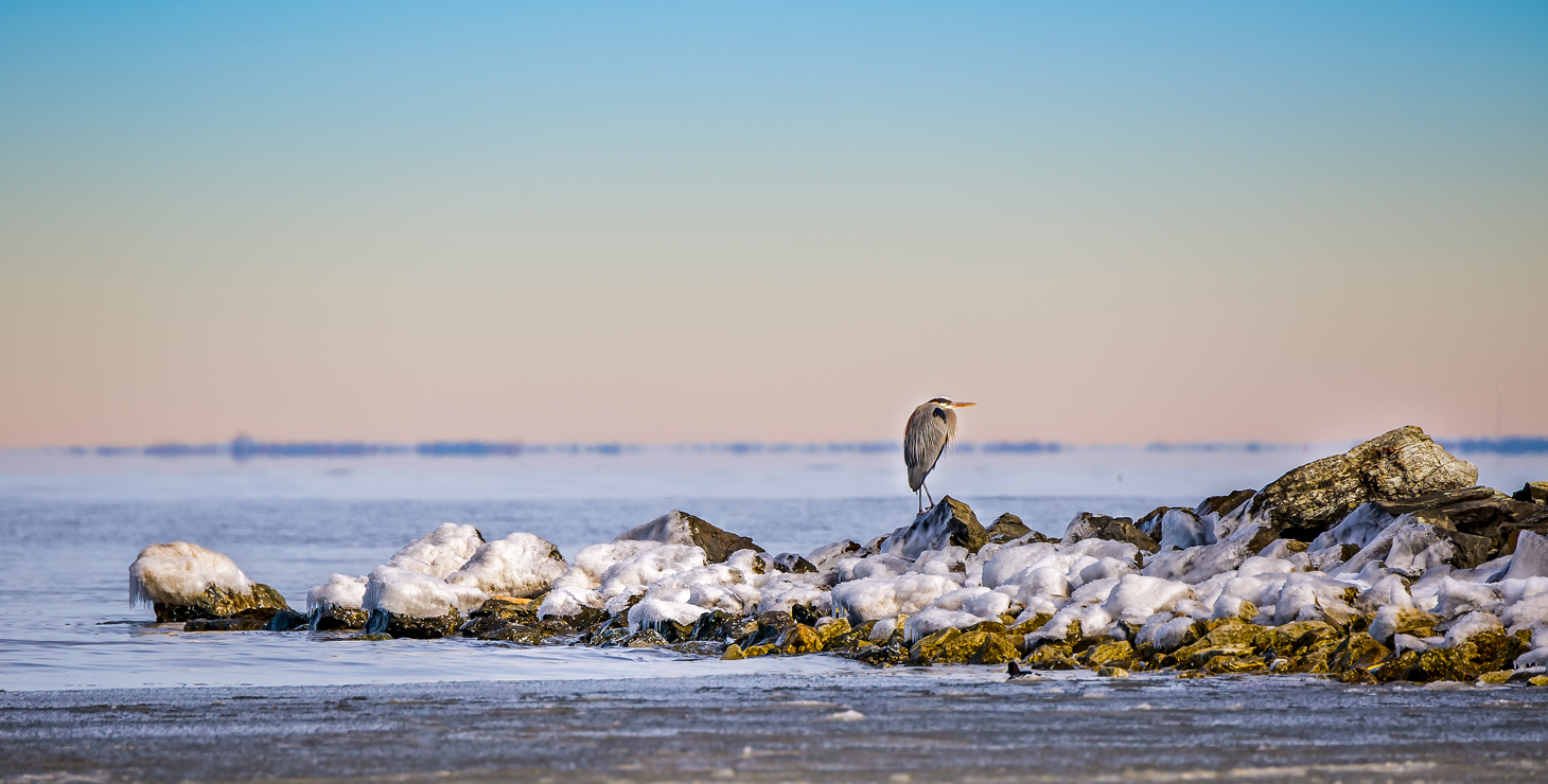 Heron on Chesapeake Bay