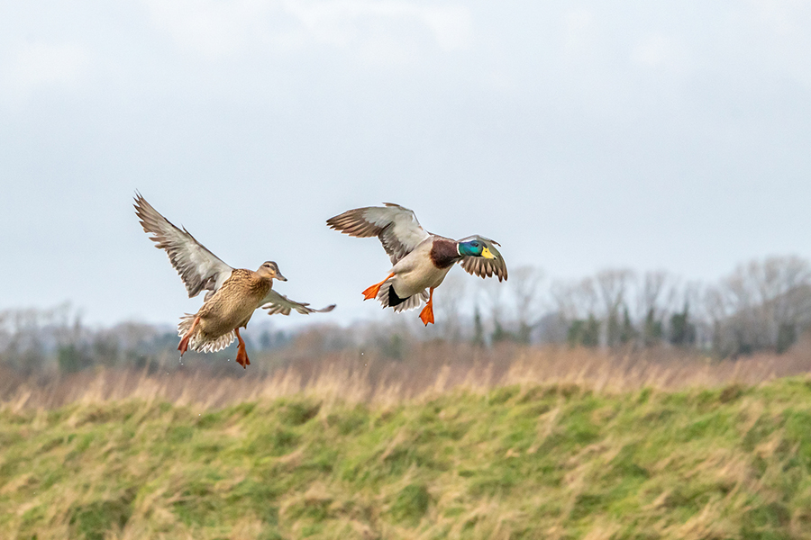 Two ducks in mid flight