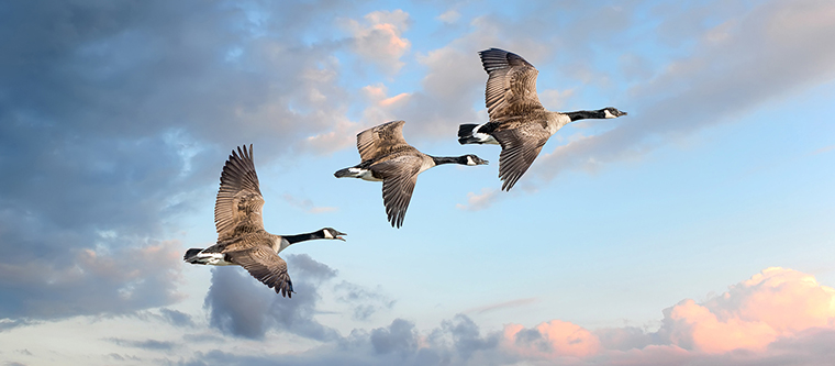 Geese flying in a sunset sky