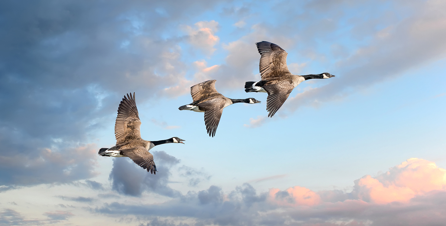 Canadian Geese flying into a sunset sky